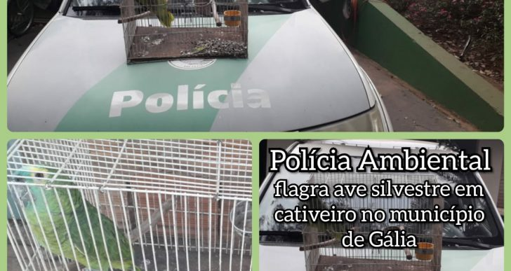 POLÍCIA AMBIENTAL APREENDE PÁSSAROS DA FAUNA SILVESTRES EM GÁLIA